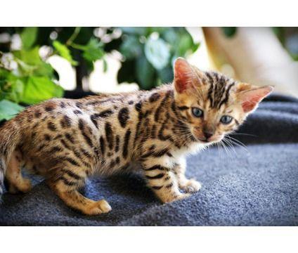 Cat Breeds Cats In Care Bengal Kitten Kitten Cuddle Bengal Cat Kitten