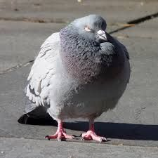 Image result for fat pigeon