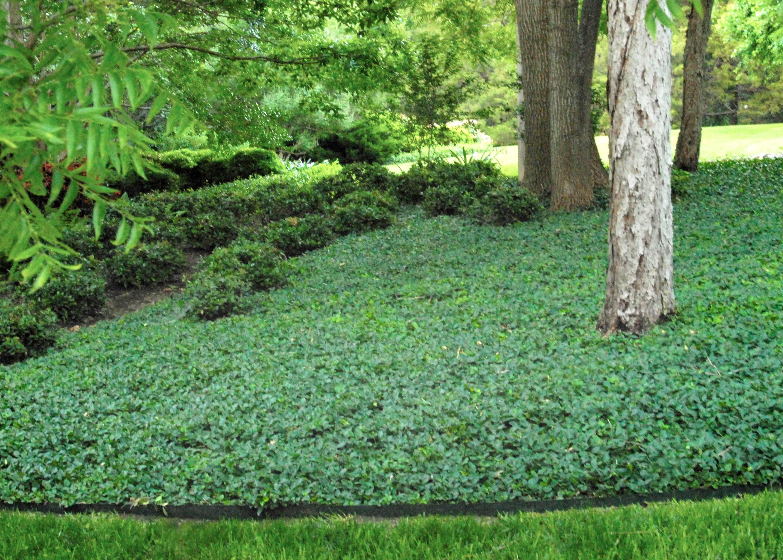 wintercreeper mid century modern landscape plants pinterest