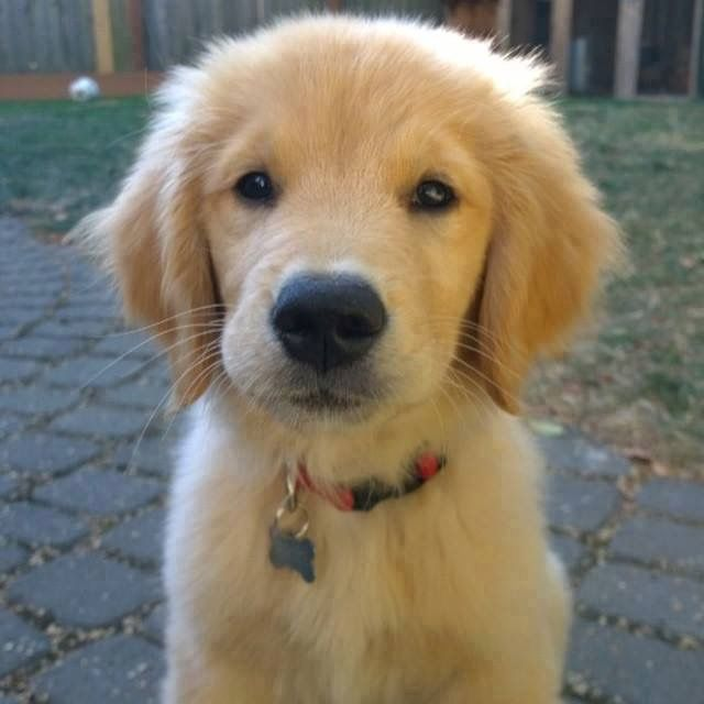 This is one of the cutest golden retrievers I've seen ↠{abbeygoldfinch}↞