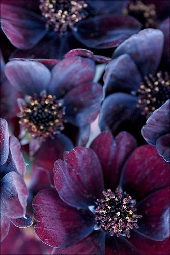 is this hellebore? Beautiful colors again. I wonder if I'd be able to get this deep of a purple. I'll have to experiment.