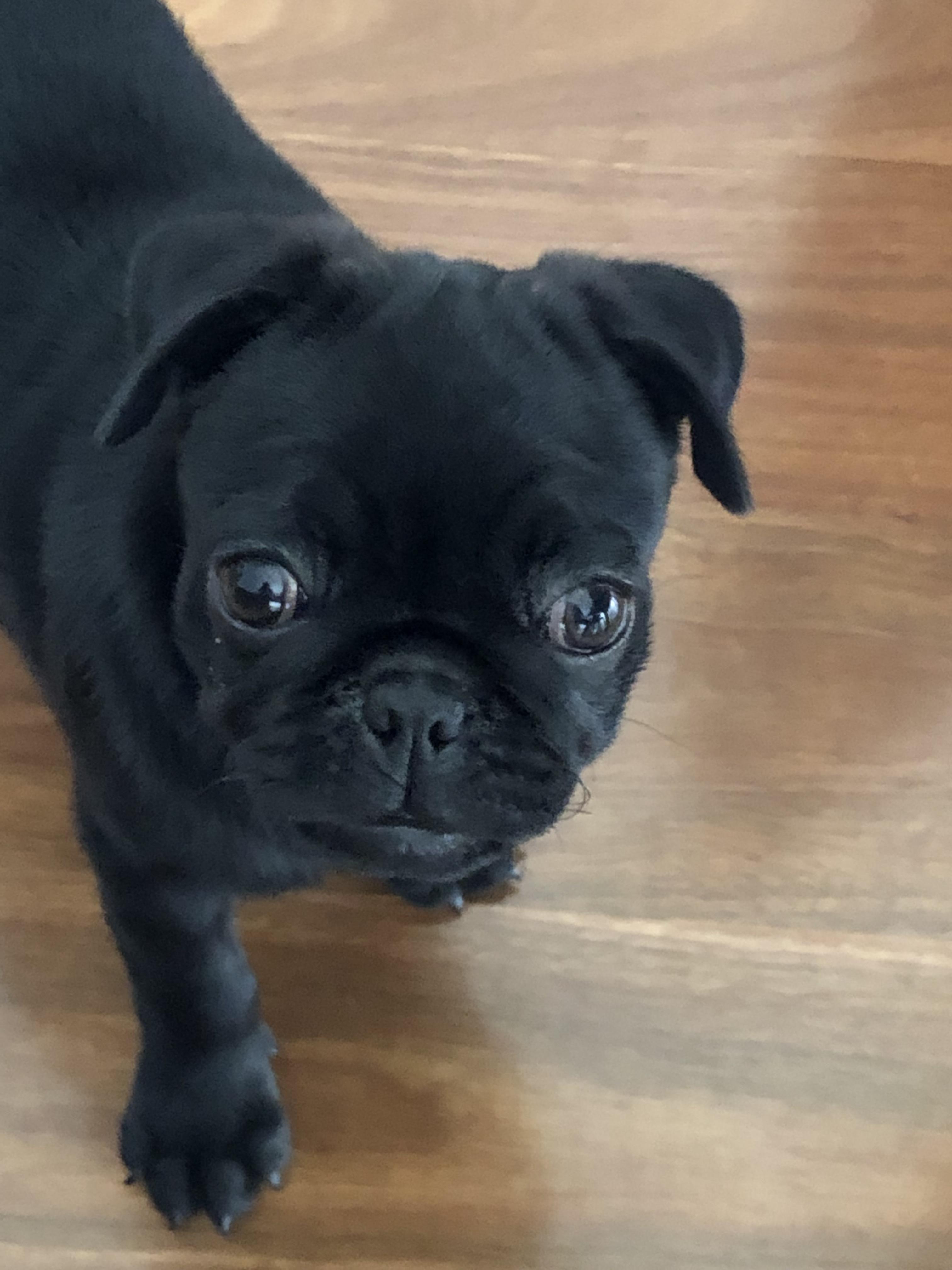 Adopt Mango On Pug Mix Pet Adoption Pets