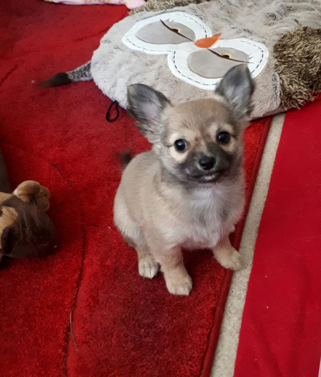 Chihuahua Pup For Sale Puppies For Sale Chihuahua Pup