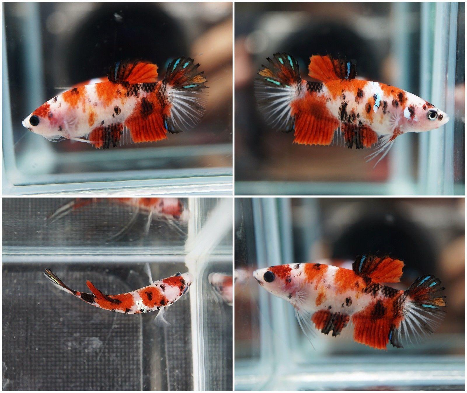 Live betta fish fancy tri color bluegalaxy tiger koi hmpk for Female koi fish