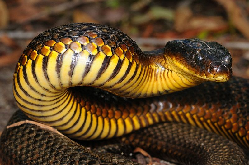 Australian Tiger Snake | Spiders and Australian animals ... - photo#33