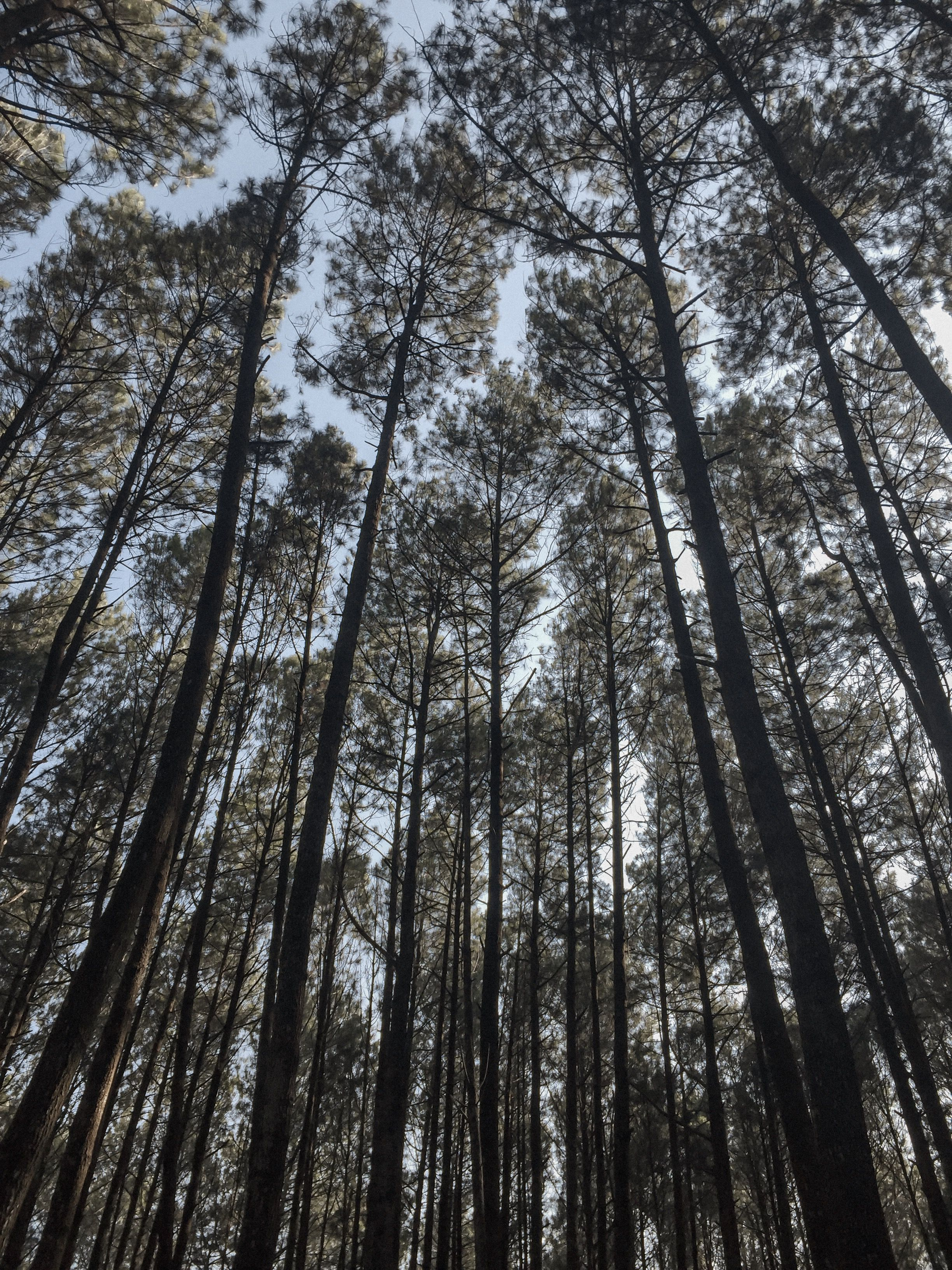 Hutan Pinus Di 2020 Hutan Pemandangan