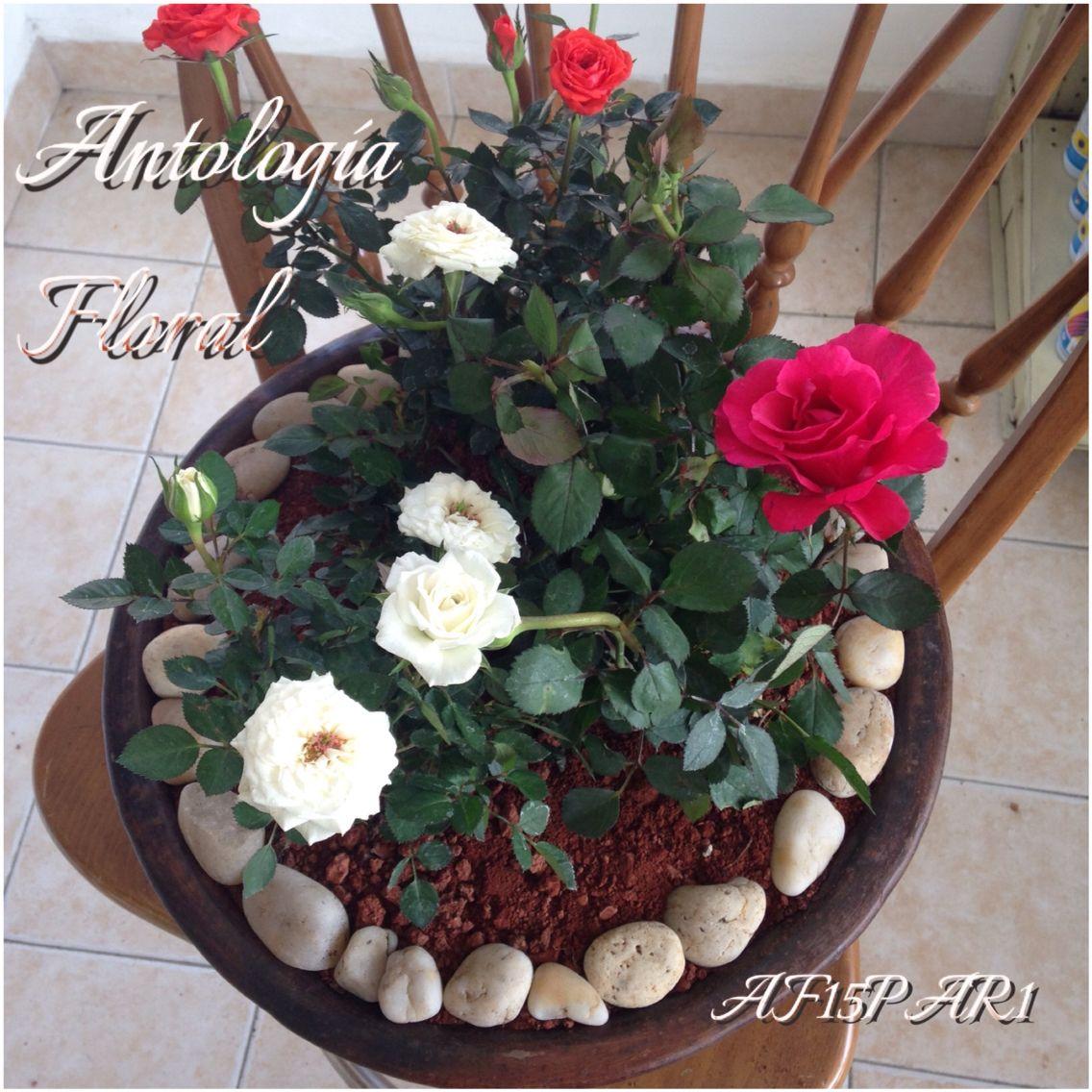 Rosales mini en maceta color rojo blanco y rosa - Rosales en macetas ...