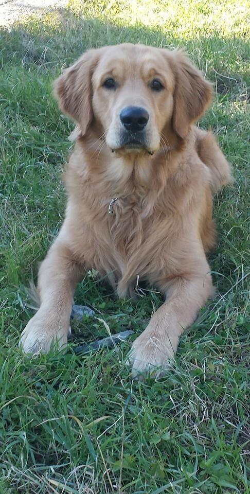 gorgeous Golden Retriever <3