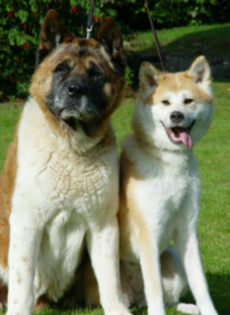 The Difference Between An American And Japanese Akita Akita Dog