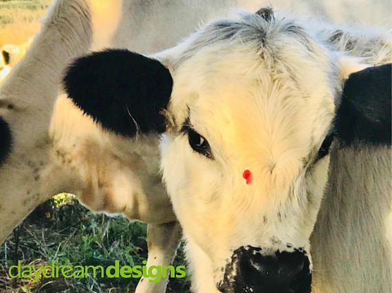 Baby Cow Photographic Print Animal Print Wall Decor | Farm Animals ...