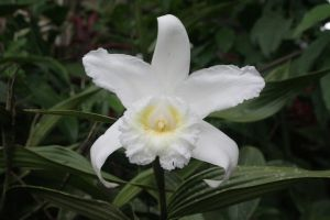 Orchidée à Misahualli, Napo, Ecuador