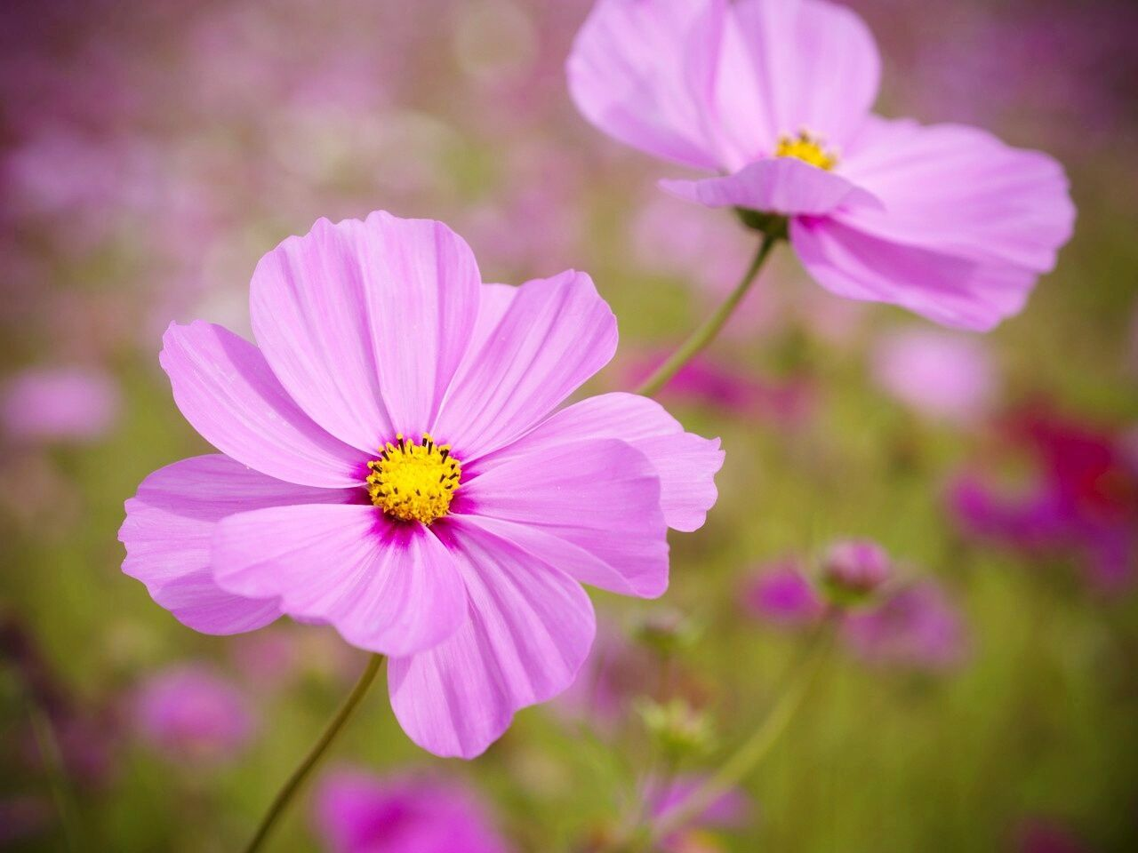 How to grow cosmos a quintessential cottage garden flower cosmos are profuse blooming annual flowers that are perfect for a cottage garden here are tips for growing these drought tolerant fast growing flowers izmirmasajfo