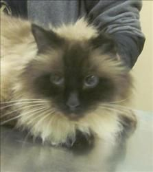 Hanes Is An Adoptable Ragdoll Mix Cat In Duluth Mn Available At Animal Allies Duluth Hanes Is A Handsome 3 Year Old Ragd Animals Beautiful Animals Pet Finder