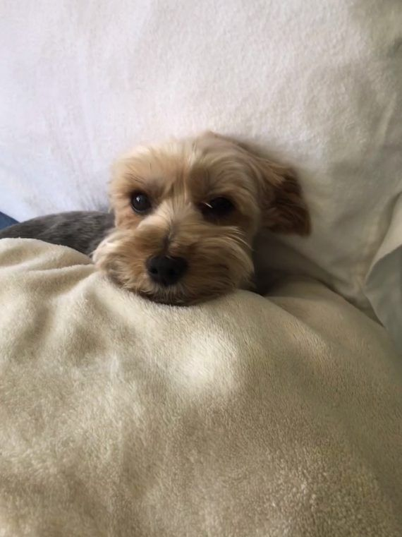 Common Yorkie Health Problems - YorkiePassion.com- Love your Yorkie