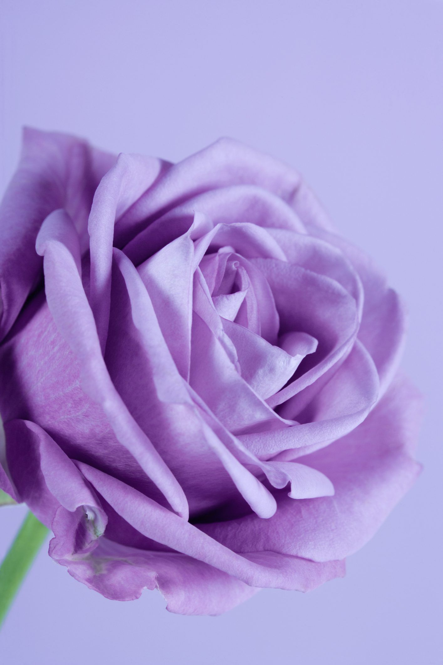 What Is The Difference Between Regular Lavender Roses And Sterling Roses Ehow Com Purple Flower Names Purple Roses Purple Flowers