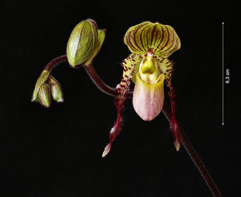 Paphiopedilum Shireen (glaucophyllum x philippinense)