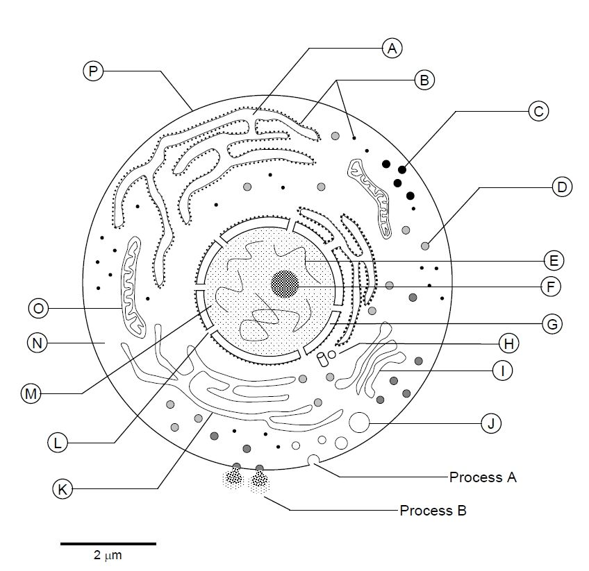 Eukaryotic Cell Model Page Coloring Pages