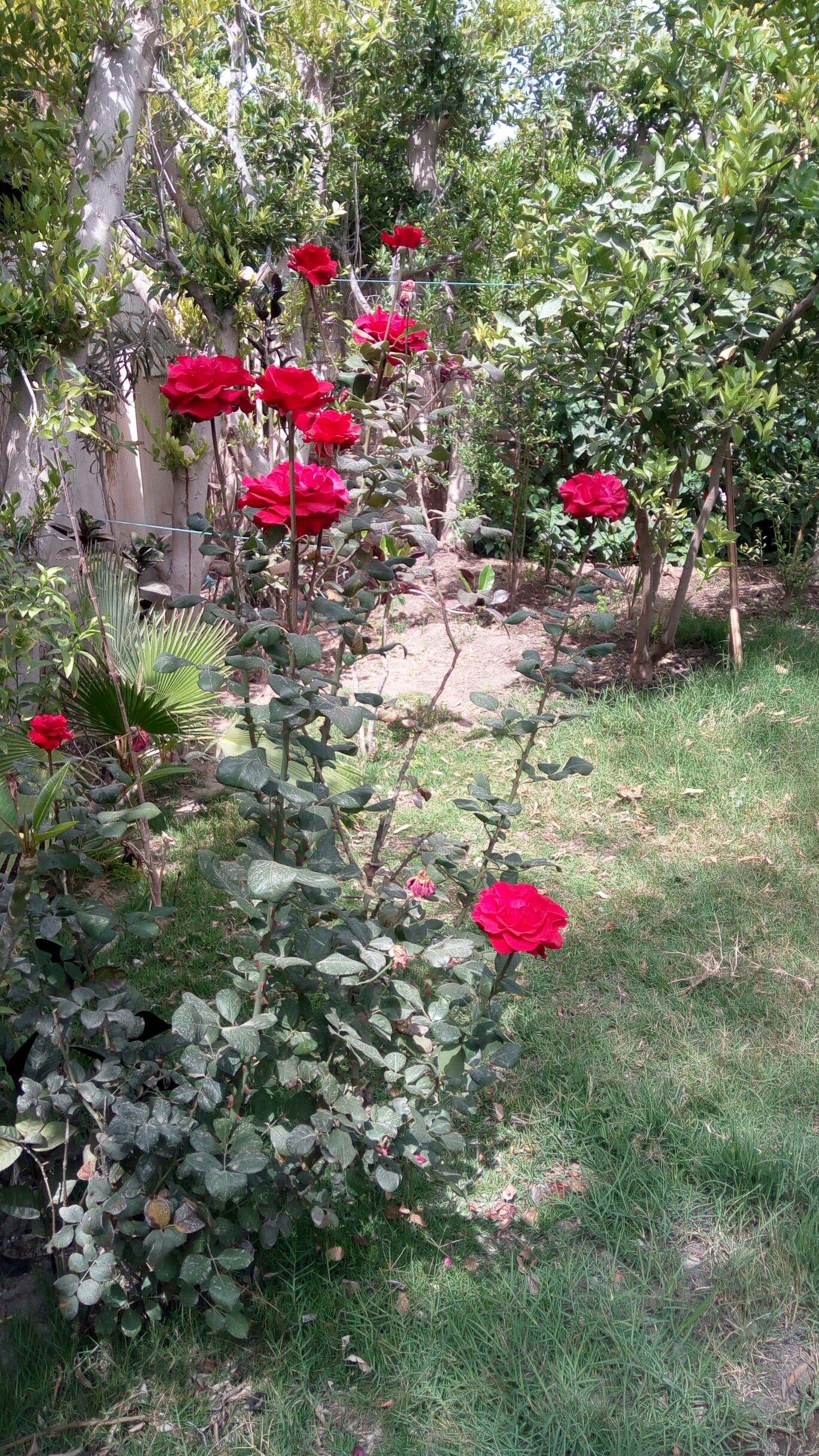 انتاجي ورد احمر جوري Beautiful Roses Red Roses Flowers