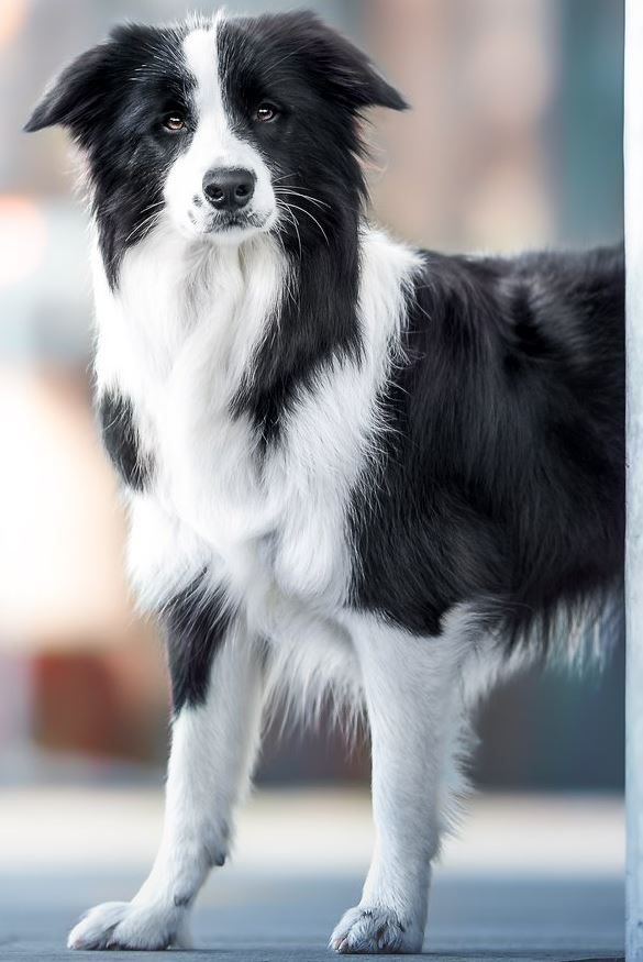Border Collie Dog #DogPhotography #Dogs Purrpaws ...