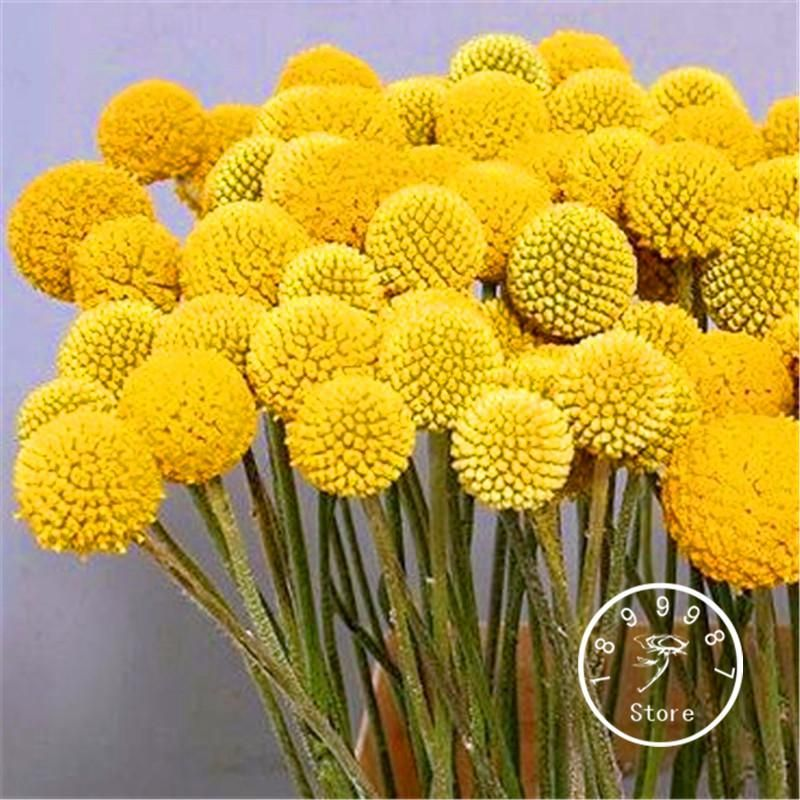 Loss Promotion 100 Pieces Lot Heirloom Craspedia Globosa Drumstick Perennial Billy Buttons Garden Yellow Flower Seed Billy Buttons Flower Seeds Yellow Flowers