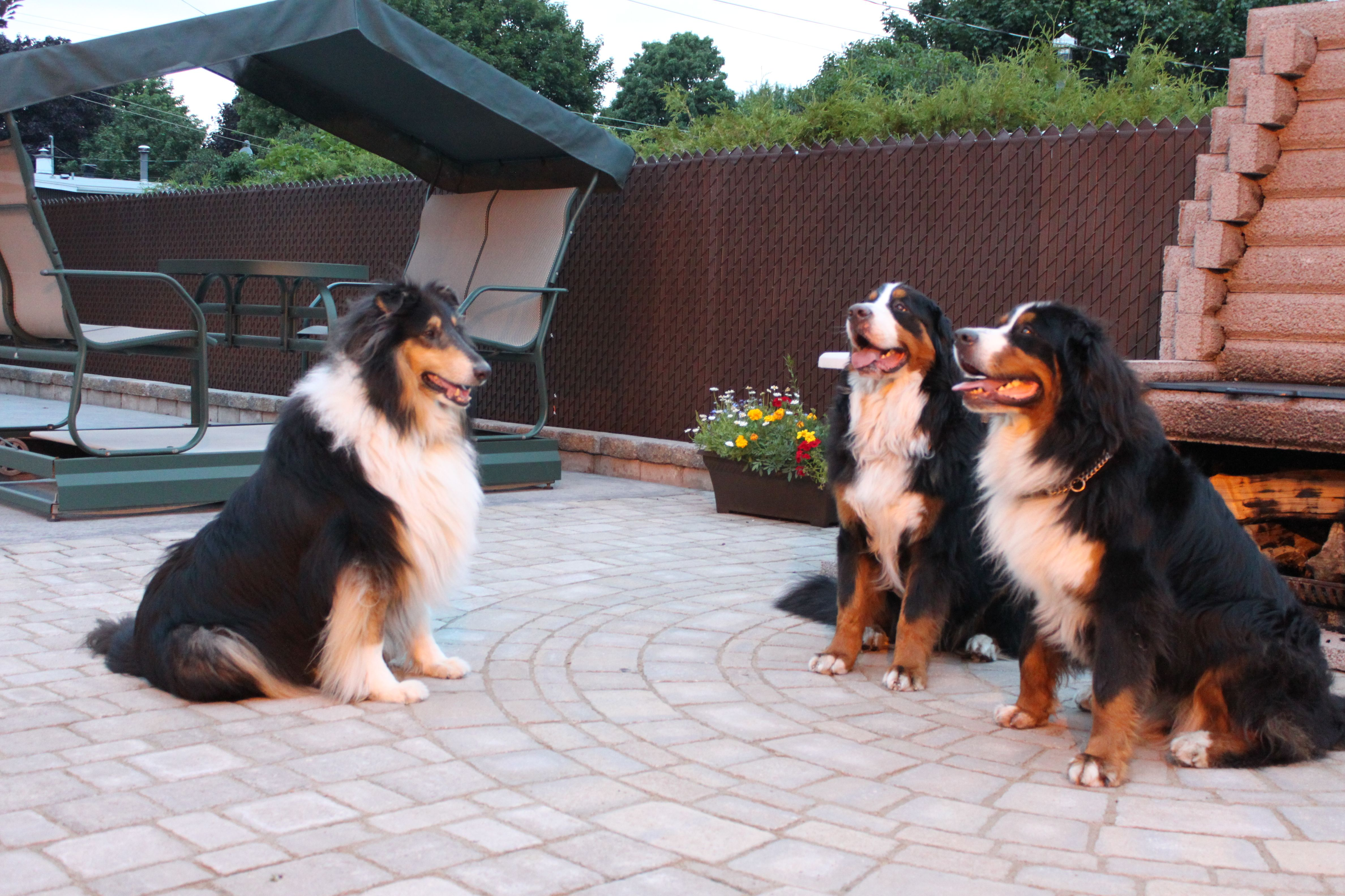 Puppy Rough Collie Ulric Chanel Bernese Mountain Dogs