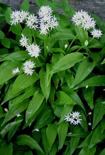 Ramslok Allium Ursinum I 2020 Hage Urter Gronnsakshage Urtemedisin