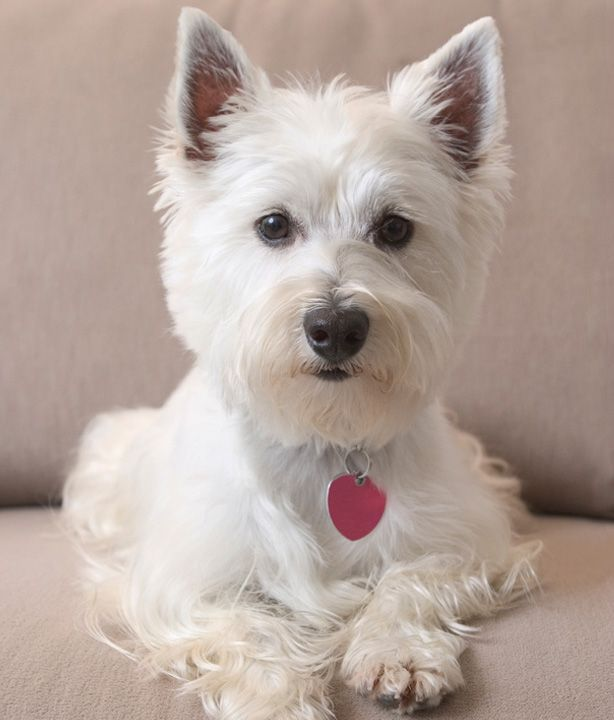 West Highland White Terrier Woofipedia Provided By The American Kennel Club Westie Dogs West Highland Terrier