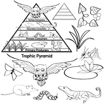 Free Science Clip Art   Trophic Pyramid   Food Chain   Color moreover Ecosystem Food Chain And Web Worksheet Activity Sheets 6 in addition 02 Food Webs Chains Trophic Levels WS as well Food Webs and Food Chains Worksheet pdf   Food Webs and Food Chains as well Worksheet  ecological pyramids worksheet  Best Ideas About also Energy Pyramid Foldable   Science Activities   Energy pyramid likewise SC 912 L 17 9   Use a food web to identify and distinguish producers also food web printable worksheets besides Download energy flow in ecosystems worksheet pdf PDF Download furthermore Unled likewise KEY ecological pyramids worksheet 2013 doc   Name Block Ecological additionally Eating at Lower Trophic Levels  Answer Key 1  Grhoppers a hen further Food web ignment answer key moreover  as well food chain printable worksheets likewise ignment 11  page 1. on food chain trophic levels worksheet