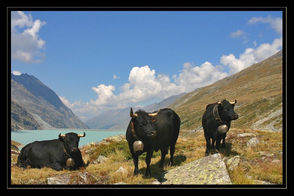 Koeien met bellen. Switserland