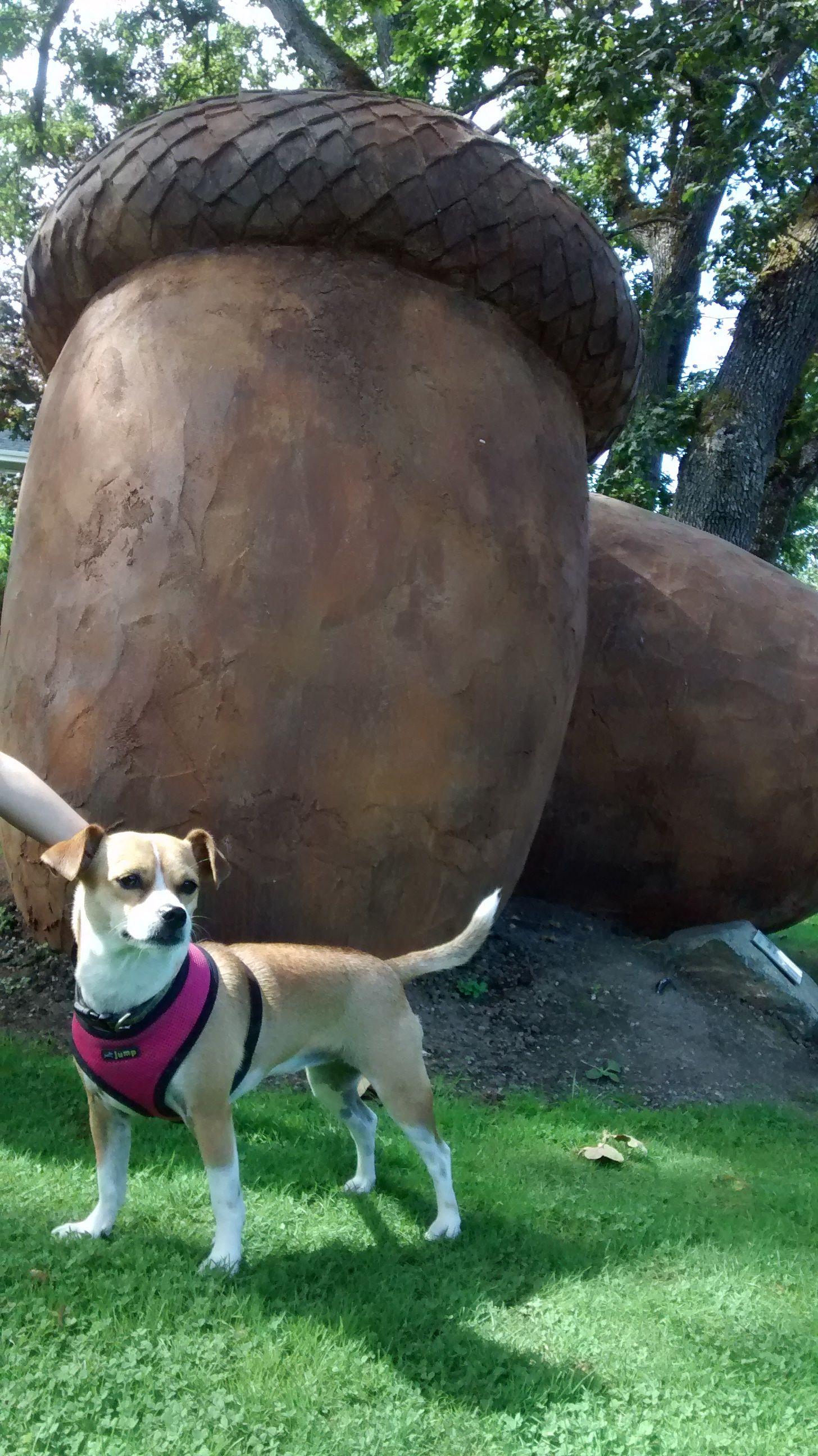 Annie, Oak Bay Acorns....Victoria BC. Jack russell, Dog