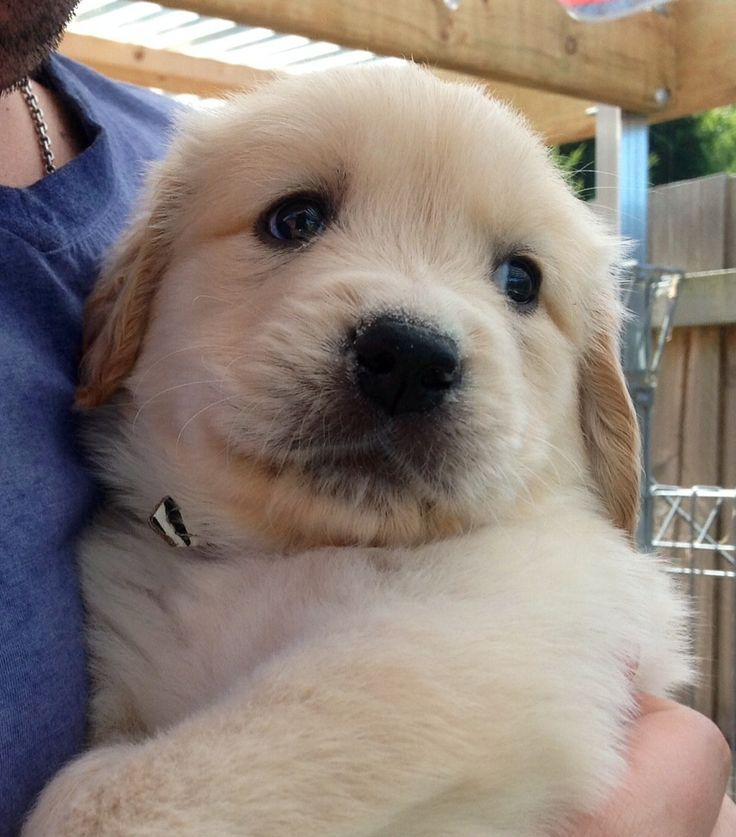 Baby golden being a baby cute dogs retriever puppy