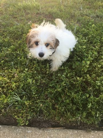 Cavachon Puppy For Sale In Jacksonville Fl Adn 35328 On