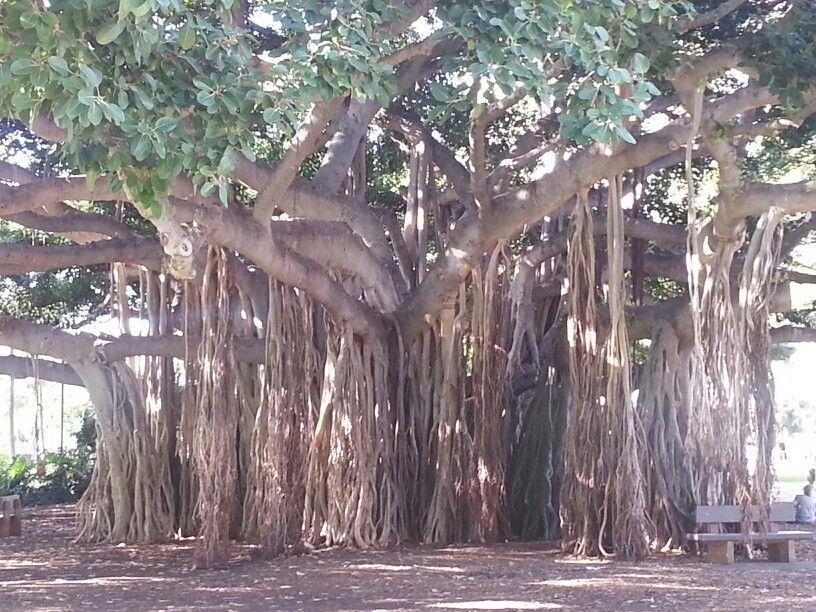 Banyon Tree Outside Of Honolulu Zoo