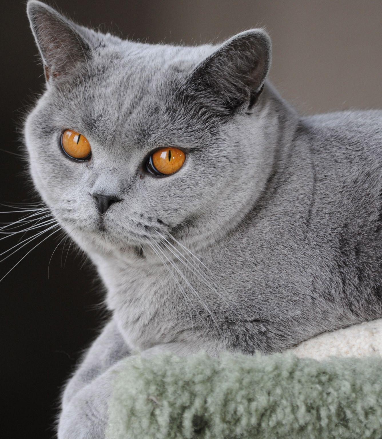 British Shorthair Pilar British Shorthair Cats British