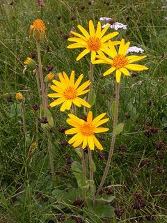 Arnica Montana   also called Leopard's bane, Wolf's bane and