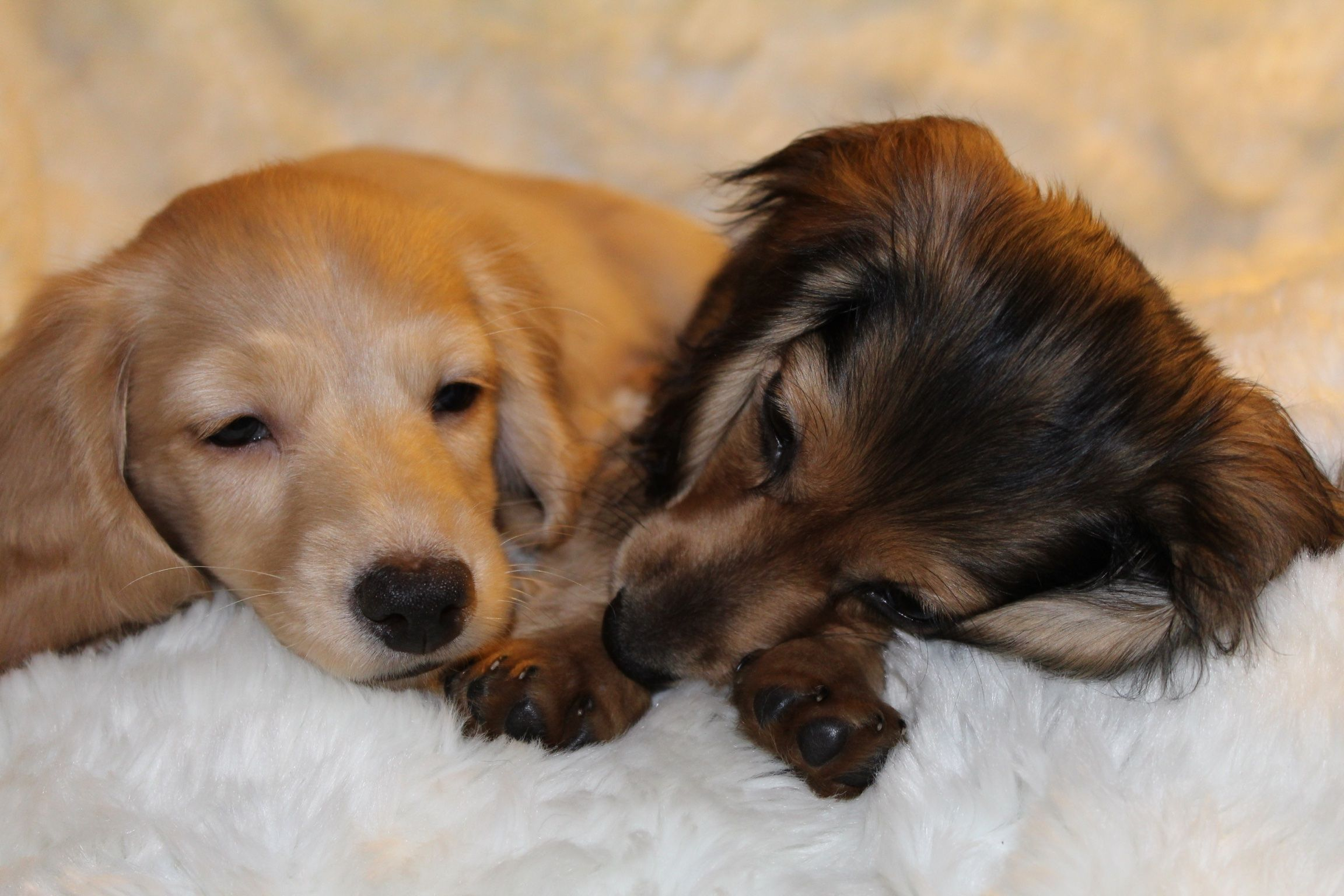 I want stinkin cute pinterest dachshunds weenie dogs and