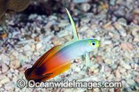 Red Fire Goby Christmas Island