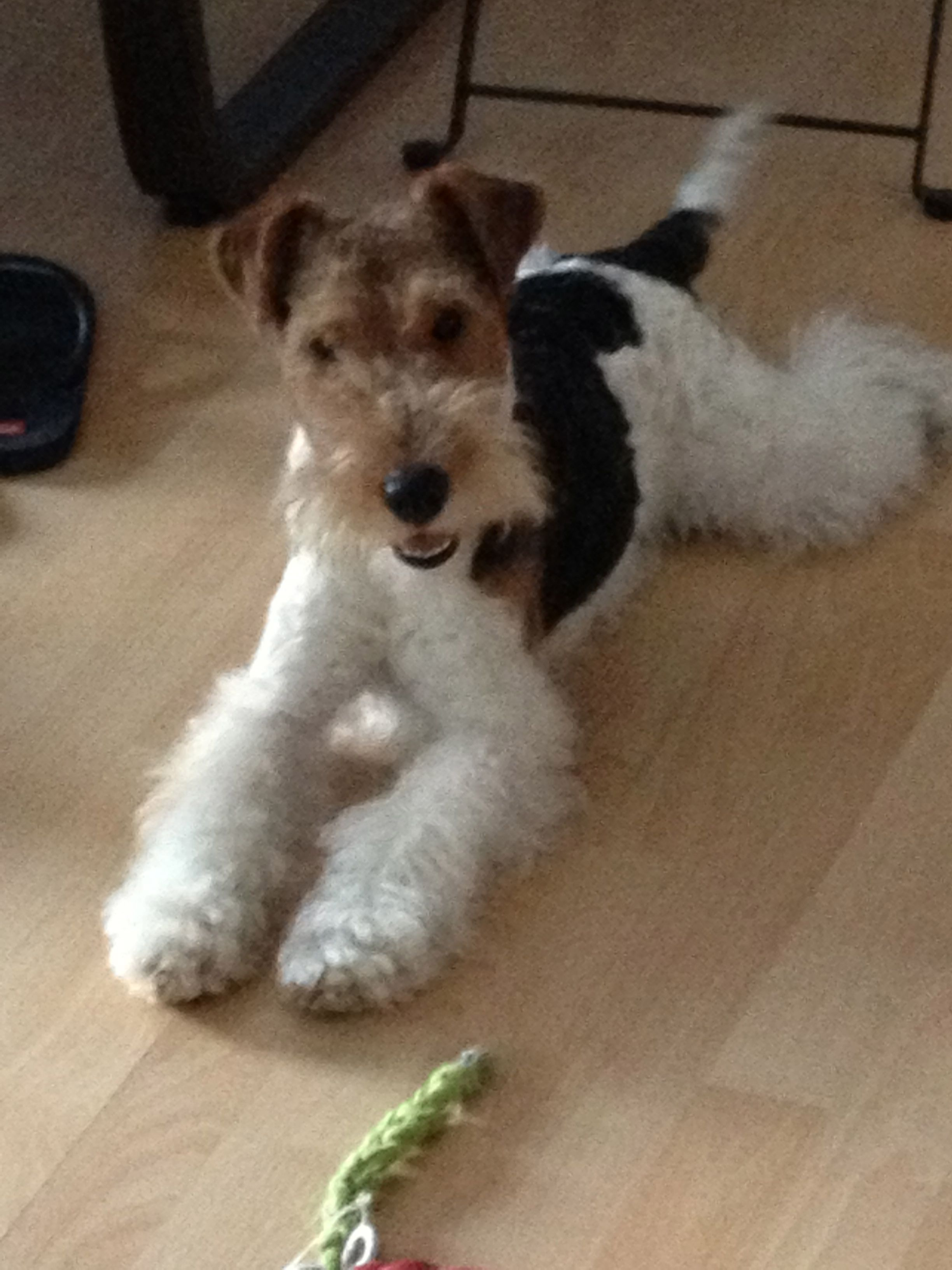 Well- I\'m upfor it . You ? | Wire Fox Terrier | Pinterest | Fox ...