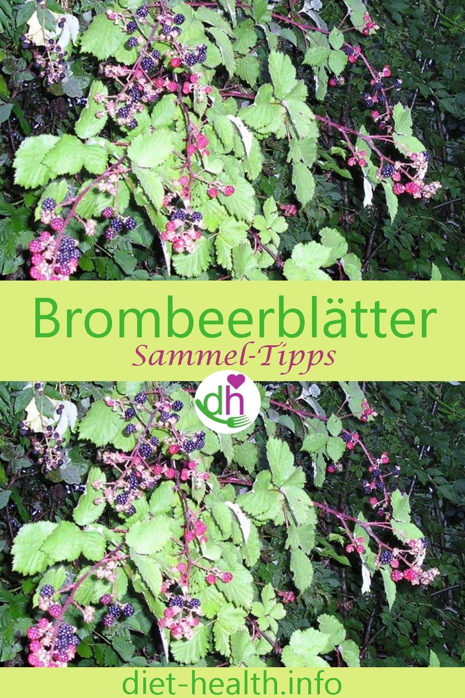 Brombeerblätter Haben Eine Gesunde Wirkung Und Lassen Sich