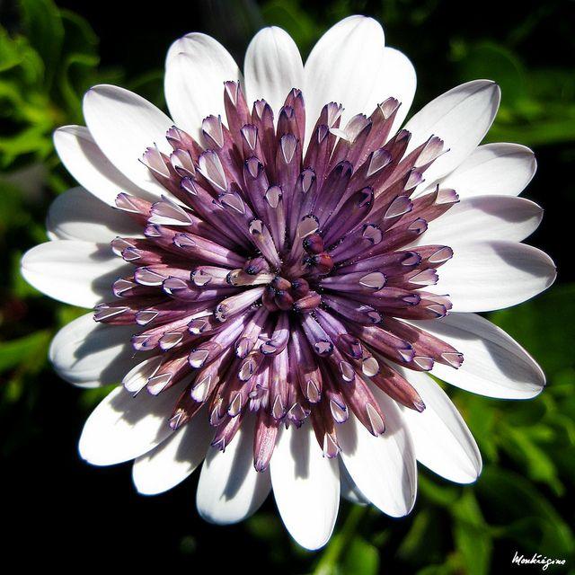 Osteospermum Flower - African Daisy