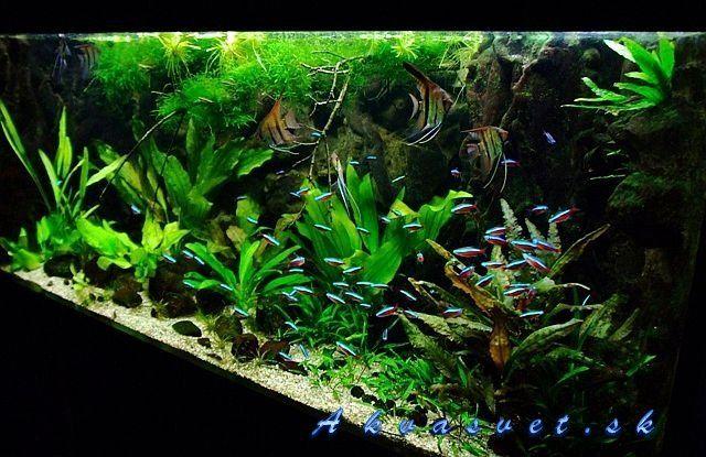 Amazon blackwater biotope amazon blackwater biotope for Amazon aquarium fish