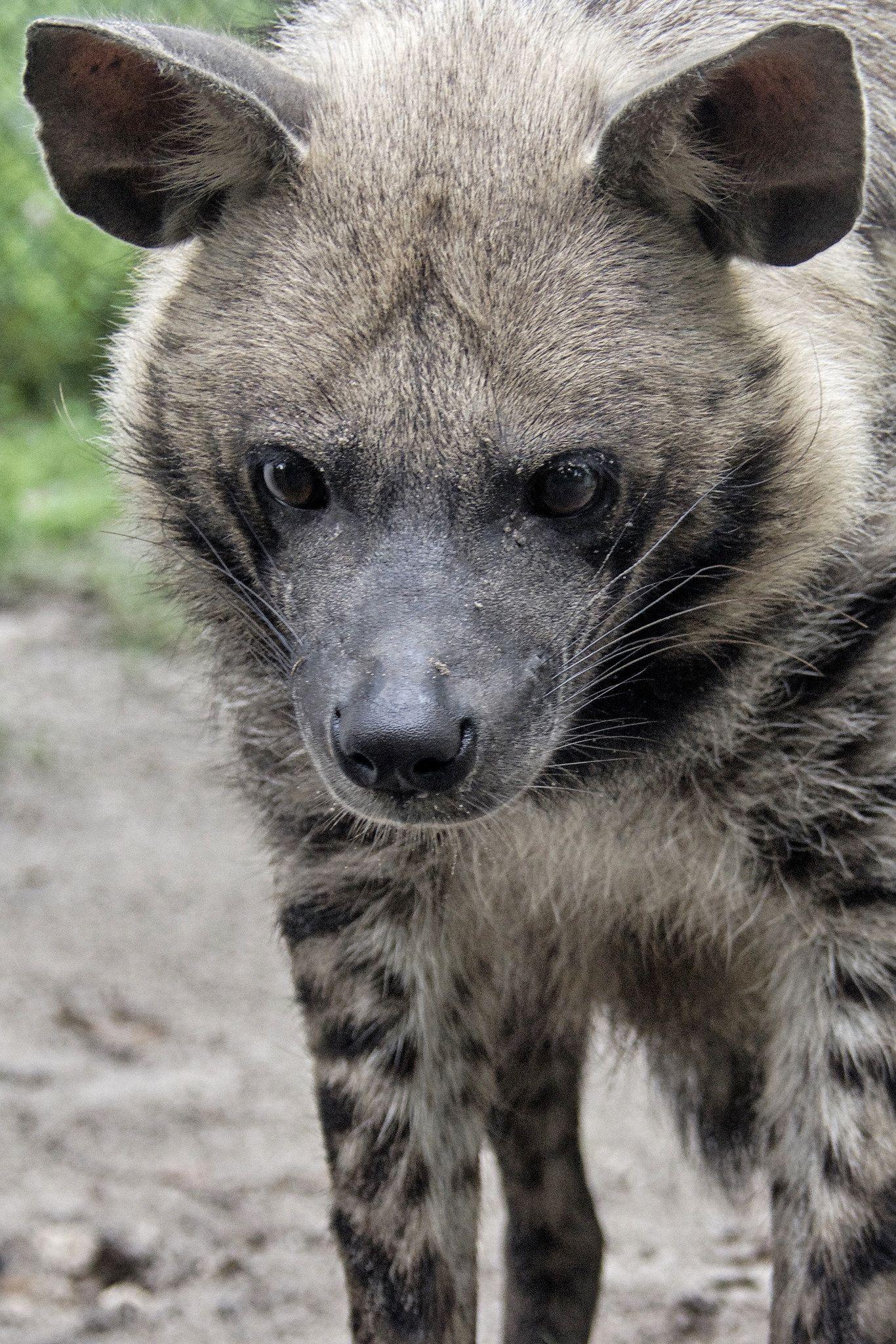 Striped hyena (Hyaena hyaena) Striped hyena, Hyena, Skunk