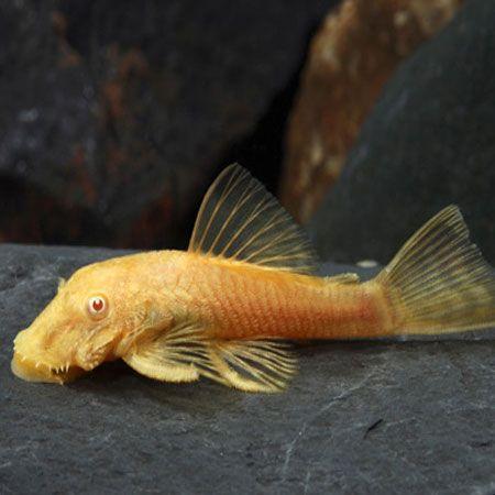 Albino Pleco Pleco Fish Plecostomus Aquarium Set