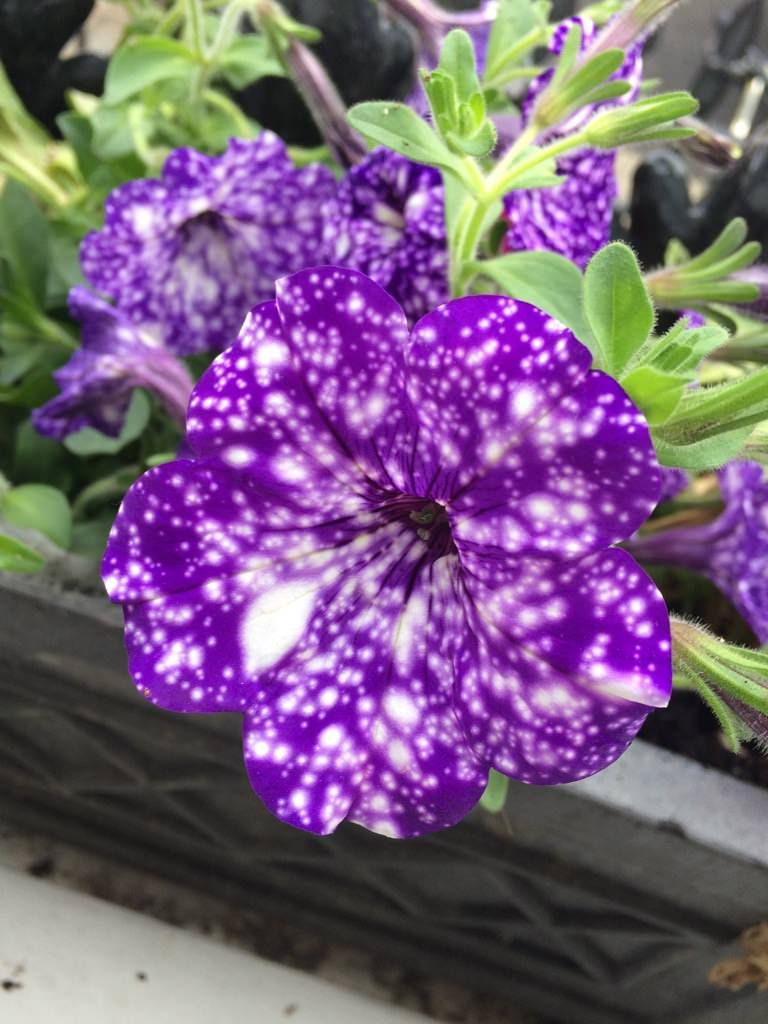 Night Sky Petunia gardening garden DIY home flowers
