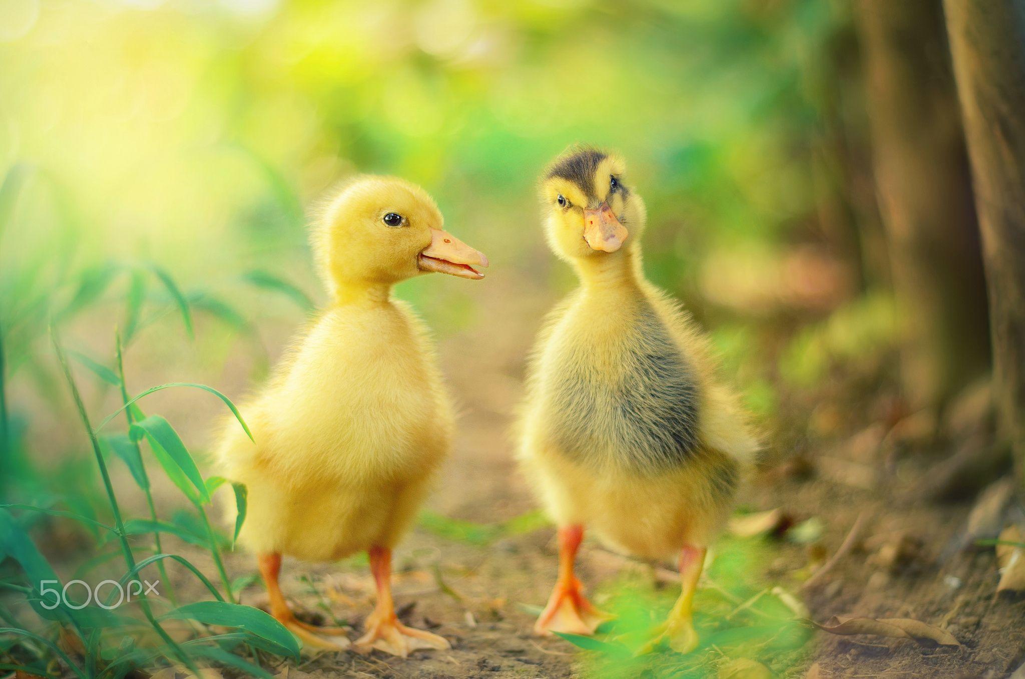 cute ducks by Sinan Kaymak on 500px