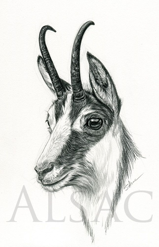 """""""Chamois""""   Art des animaux sauvages, Dessin chasse ..."""