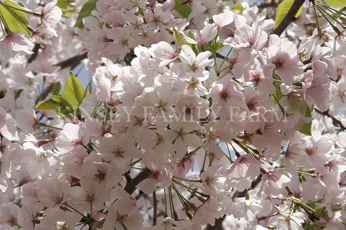 Flowering Cherry Trees For Sale Georgia Garden Landcape Plants Flowering Cherry Tree Flowering Trees Plant Nursery