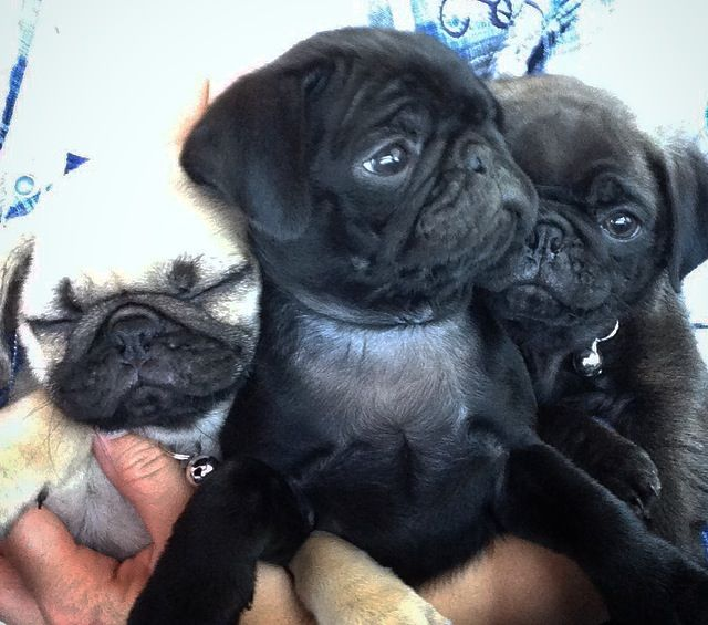 Pug Puppies Black Silver Fawn With Images Fawn Pug Black Pug