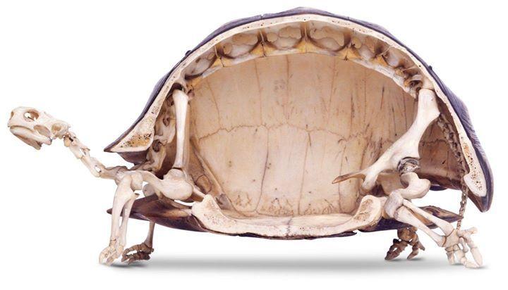 Habías visto alguna vez el esqueleto de una tortuga? | animal ...