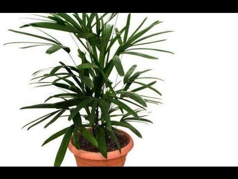 Lady Palm Plant Care Palm Tree Care Outdoor Indoor Plants Urdu Hindi Air Purifying House Plants Plants Flowering Plants In India